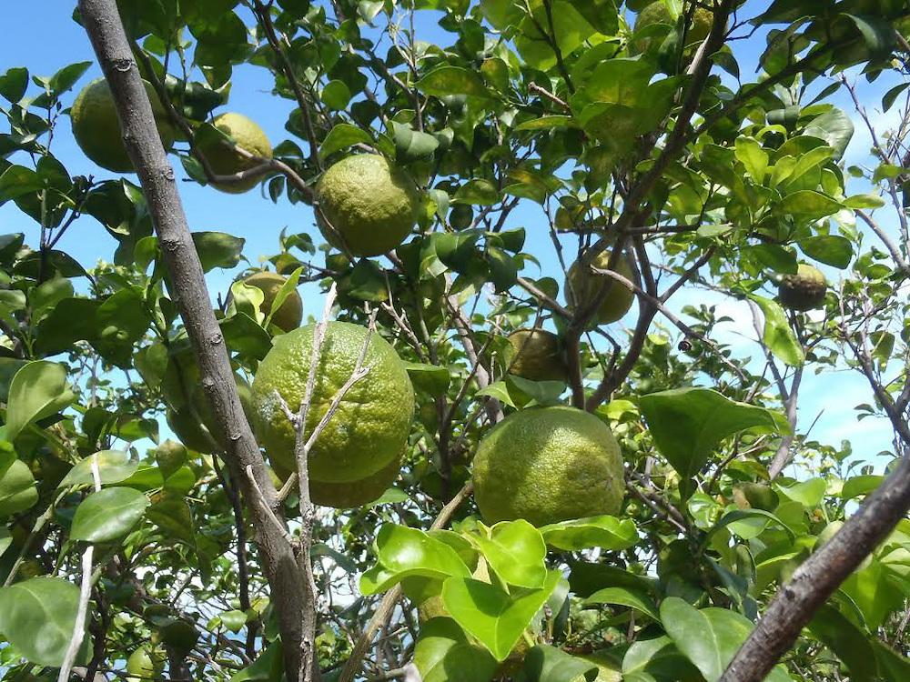 Visitar el pasado mediante las plantas - Naranjas del arbol a la mesa ...