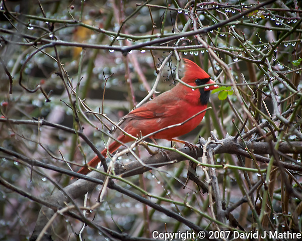 Northern Cardinal. Image taken with a Nikon D2xs camera and 80-400 mm VR lens (ISO 400, 400 mm, f/5.6, 1/80 sec) (David J Mathre)