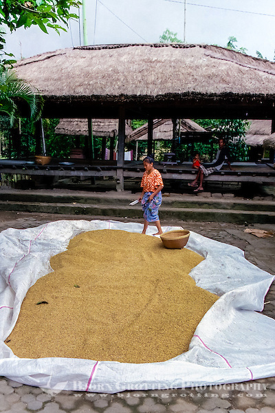 Nusa Tenggara, Lombok, Sade. Drying of rice. In the background a beruga, a TV set is sponsored by the government, which can draw 200 people here every evening. Sade village. (Photo Bjorn Grotting)