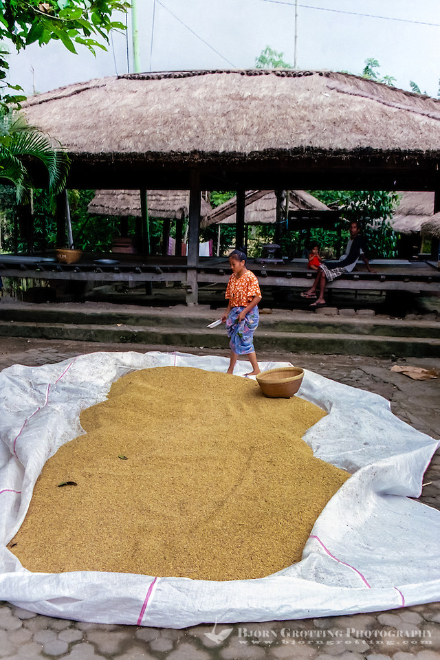 Nusa Tenggara, Lombok, Sade. Drying of rice. In the background a beruga, a TV set is sponsored by the government, which can draw 200 people here every evening. Sade village. (Bjorn Grotting)