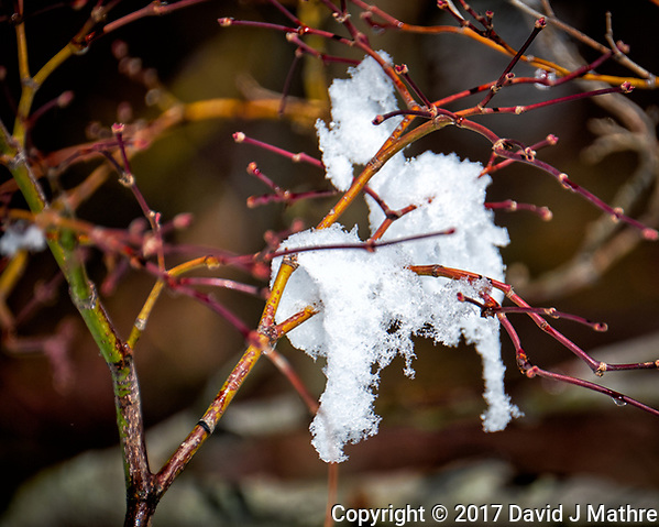 Snow on a Japanese Maple tree after a late winter snowstorm. Image taken with a Fuji X-T2 camera and 100-400 mm lens (ISO 200, 400 mm, f/5.6, 1/1000 sec). (David J Mathre)