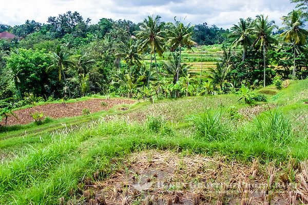 Bali, Gianyar, Bedulu. Rice fields ready to be planted after irrigation. One year has 3 harvests, 2 with rice and 1 with sweet potatoes or something else. This will fertilize the soil and give it the necessary rest. (Photo Bjorn Grotting)