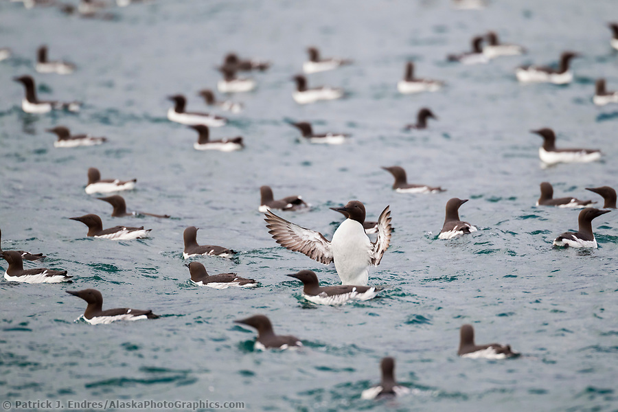 Common murre spreads its wings before taking flight on the waters of Prince William Sound, southcentral, Alaska. (Patrick J Endres / AlaskaPhotoGraphics.com)