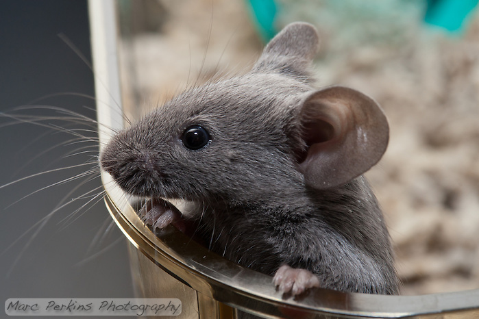 A gray male pet mouse jumps up on the side of a clear plastic cage and holds himself up by his front paws, peering over the edge into the vast unknown beyond the cage.  I love the cute little paws holding onto the edge.  I also like how the whiskers are fully three-dimensional: you can see how they extend around the face in all directions - front, back, top, bottom, and sides. (Marc C. Perkins)