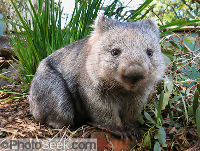 "A Common Wombat (Vombatus ursinus) is shown at Bonorong Wildlife Park, Briggs Road, Brighton, Tasmania, Australia. Wombats are burrowing grass eaters, and can be thought of as the marsupial ecological equivalent of a bear. Wombats are found in forested, mountainous, and heathland areas of southeast Australia including Tasmania, plus an isolated group in Epping Forest National Park in central Queensland. The three living species of wombats are marsupial mammals in the Vombatidae family. They dig extensive burrow systems with rodent-like front teeth and powerful claws. Their unusual backwards-facing pouch avoids gathering dirt onto its young. Although mainly crepuscular and nocturnal, wombats also venture out to feed on cool or overcast days. Wombats are herbivores, mostly eating grasses, sedges, herbs, bark and roots. Published on Australian geocaching coin 2010, displayed in support of Wilder Foundation 2009, 2010, and exhibited at Oceanario de Lisboa, Portugal 2007. Published in ""Light Travel: Photography on the Go"" book by Tom Dempsey 2009, 2010. (© Tom Dempsey / PhotoSeek.com)"