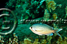 Threespot Chromis Lightened, Chromis verater, Jordan & Metz, 1912, Molokai Hawaii (Steven W SMeltzer)