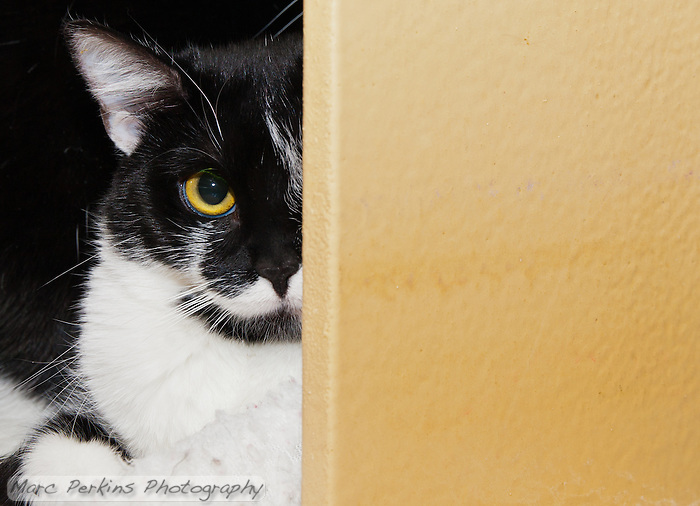Zoey peers out from behind a wall, wondering who's taking pictures of her.  Zoey, a less than year old white and black bicolor female cat with yellow green eyes up for adoption at Miss Kitty's Rescue in Costa Mesa, CA, is held by Mindy, owner of Miss Kitty's Rescue.  Zoey is sisters with Porsche, and the two need to be adopted together as a pair.  This picture was taken pro bono for Miss Kitty's Rescue to help them advertise the cats for adoption. (Marc C. Perkins)