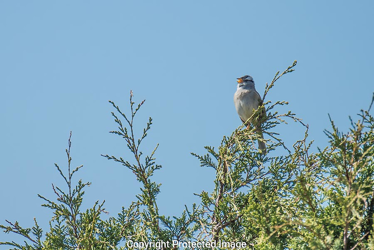 A male white-crowned sparrow sings from the top of a cedar in Washington Park by Anacortes. (Thomas Bancroft)