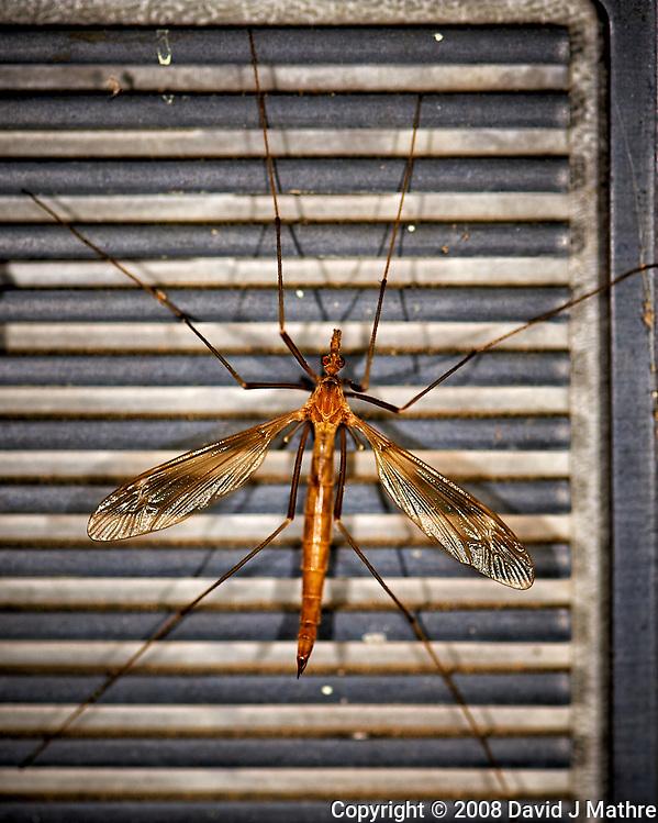 Crane Fly. Image taken with a Nikon D3 camera and 105 mm f/2.8 macro lens (ISO 200, 105 mm, f/5.6, 1/60 sec) (David J Mathre)