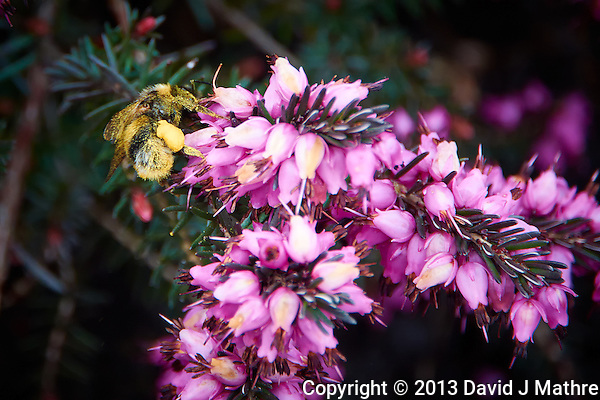 Bee Heavy with Pollen working Scottish Heather in Scotland. Image taken with a Nikon 1 V2 camera and 10-100 mm VR lens (ISO 160, 100 mm, f/5.6, 1/160 sec) (David J Mathre)