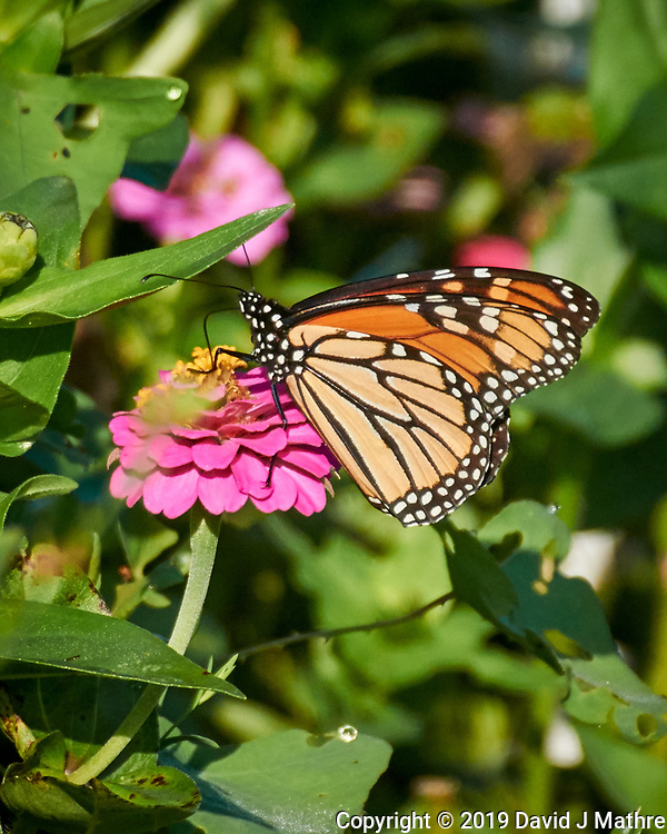 Monarch Butterfly on a Zinnia Flower. Image taken with a Nikon 1 V3 camera and 70-300 mm VR lens (ISO 400, 300 mm, f/5.6, 1/800 sec). (DAVID J MATHRE)