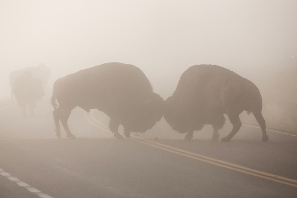 Two bull bison battle for dominance in the thick fog of Yellowstone National Park. (Sandy Sisti)