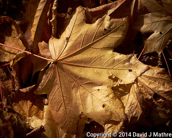 Autumn leaves in my backyard. Outdoor Nature in New Jersey. Image taken with a Fuji X-T1 camera and 60 mm f/2.4 macro lens. (David J Mathre)