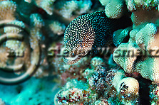Whitemouth Moray, Gymnothorax meleagris, Maui Hawaii (Steven Smeltzer)