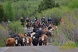 "Cattle drive in Swan Valley Idaho. June is the time many ranchers move their cattle to the mountains so they can grow hay on their property so the cows will have something to eat when they come out of the mountains for the winter...The cowboys of the west are under assault because many don't like to see their cows on public land. I have written a couple of articles articulating the problem. My photos are not to be used for anti public land ranching interests. (Daryl Hunter's ""The Hole Picture"" • Daryl L. Hunter has been photographing the Yellowstone Region since 1987, when he packed up his view camera, Pentex 6X7, and his 35mm's and headed to Jackson Hole Wyoming. Besides selling photography Daryl also publ/Daryl L. Hunter)"