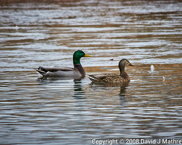 Mallard Ducks at the Sourland Mountain Preserve. Image taken with a Nikon D300 camera and 80-400 mm VR lens (ISO 320, 400 mm, f/8, 1/250 sec). (David J Mathre)