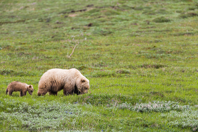 Sow grizzly bear on the tundra in Highway Pass, Denali National Park, Interior, Alaska. Ⓒ Patrick J. Endres / AlaskaPhotoGraphics.com