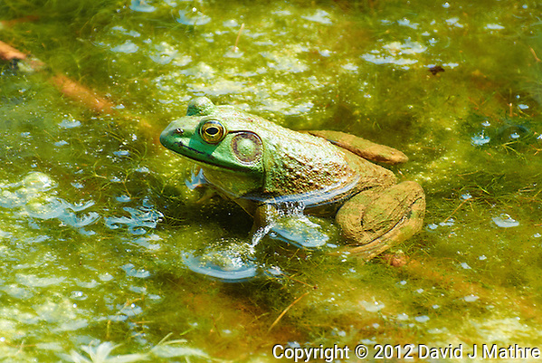 Bullfrog in a Pond at the Sourland Mountain Preserve. Summer Nature in New Jersey. Image taken with a Nikon 1 V1 + FT1 + 70-300 mm VR lens (ISO 200, 200 mm, f/5.6, 1/320 sec) and monopod. [FOV Equivalent to ~ 540 mm on a 35 mm image sensor] (David J Mathre)