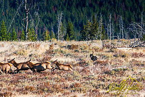 Black Wolf of the Canyon Pack chases elk in Yellowstone