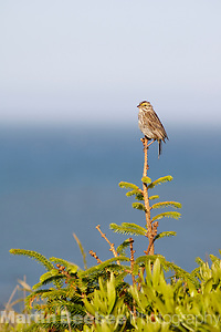 A Savannah Sparrow (Passerculus sandwichensis) perches on a twig along the Northern California coast (Martin D. Beebee, Martin D. Beebee/Martin Beebee Photography)