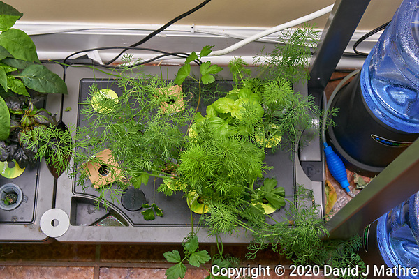 AeroGarden Farm 02-Right. Herb Plants - Basil, Dill, Parsley (106 days). Image taken with a Leica TL-2 camera and 35 mm f/1.4 lens (ISO 400, 35 mm, f/8, 1/50 sec). (DAVID J MATHRE)