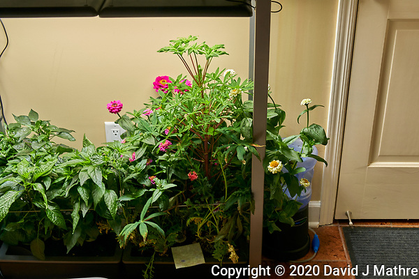 AeroGarden Farm 03-Right. Flowers: Dianthus, Zinnia, Red Poppy (86 days). Image taken with a Leica TL-2 camera and 35 mm f/1.4 lens (ISO 320, 35 mm, f/8, 1/30 sec). (DAVID J MATHRE)