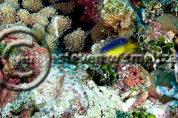 Cocoa Damselfish Juvenile, Stegastes variabillis, Grand Cayman (StevenWSmeltzer.com)