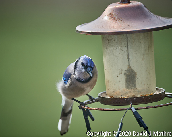 Blue Jay at an empty bird feeder. Image taken with a Nikon D5 camera and 600 mm f/4 VR lens (ISO 280, 600 mm, f/4, 1/1250 sec) (DAVID J MATHRE)
