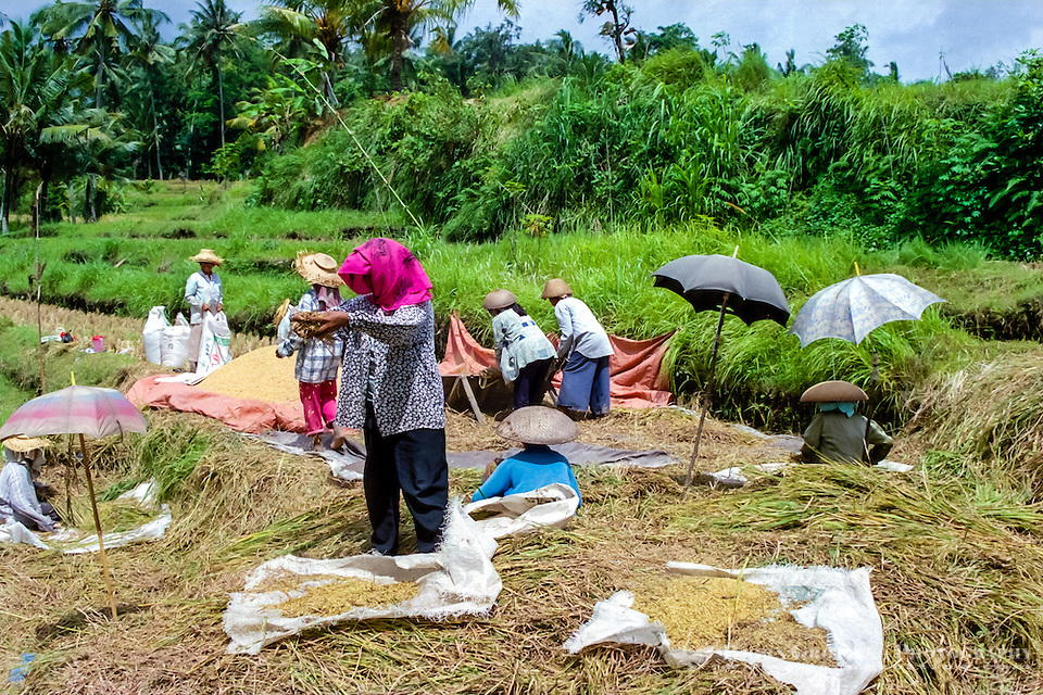 Bali, Gianyar, Bedulu. Cleaning and packing the rice before it is sent to the factory for further processing. Only women shall do this job for good luck. (Photo Bjorn Grotting)