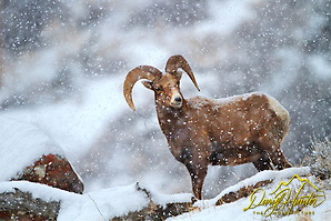 "Bighorn ram in snowstorm in Jackson Hole Wyoming (© Daryl Hunter's ""The Hole Picture""/Daryl L. Hunter)"