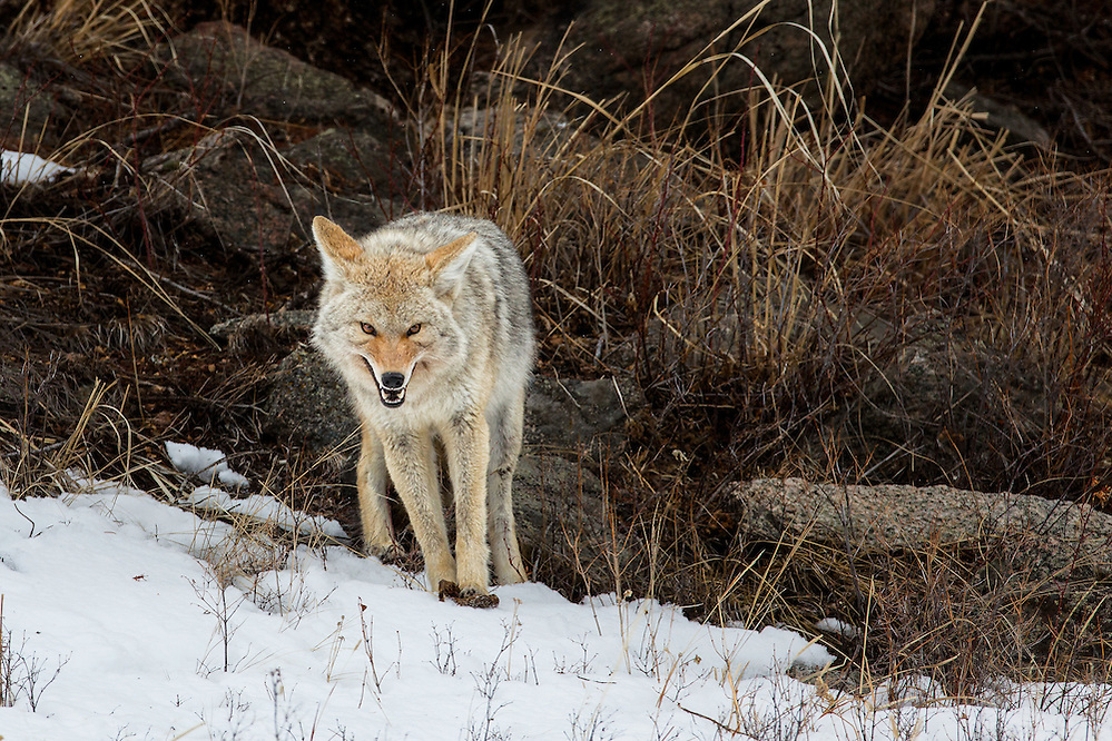 A Coyote protecting its food in Yellowstone National Park (Doug Oglesby)