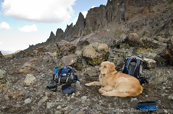 Dog (golden retriever) resting during a rugged hike in the Sierra Nevada mountains, Toiyabe National Forest, California (Martin Beebee)