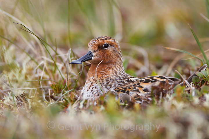 Adult male Spoon-billed Sandpiper brooding newly hatched chicks on the nest. The male attends to the nest during the day, the female at night. Chukotka, Russia. July. (Gerrit Vyn)