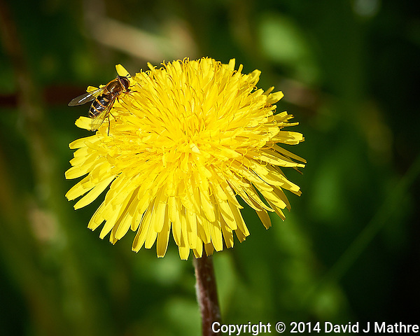 Hoverfly on a Dandelion Flower in Isafjordur, Iceland. Semester at Sea, Spring 2014 Enrichment Voyage. Image taken with a Nikon Df camera and 300 mm f/2.8 VR lens (ISO 360, 300 mm, f/5.6, 1/2000 sec). Raw image processed with Capture One Pro, Focus Magic, and Photoshop CC 2014. (David J Mathre)
