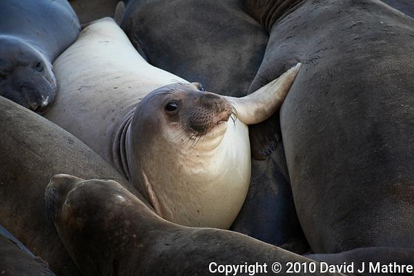 Elephant Seals at Piedras Blancas Beach, Central California Coast. Image taken with a Nikon D3x and 70-300 mm VR lens (ISO 400, 300 mm, f/8, 1/250 sec). (David J Mathre)