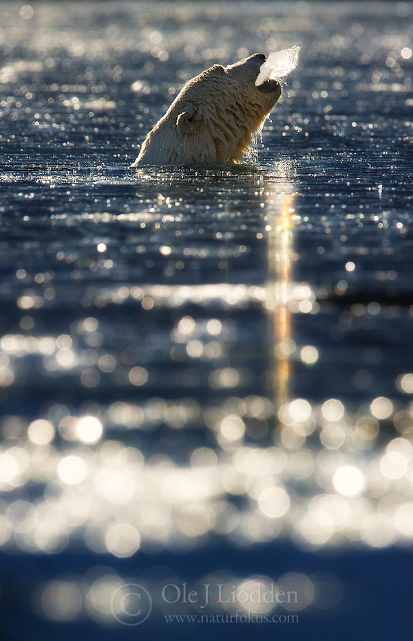 Polar bear (Ursus maritimus) on Svalbard (Ole Jørgen Liodden)