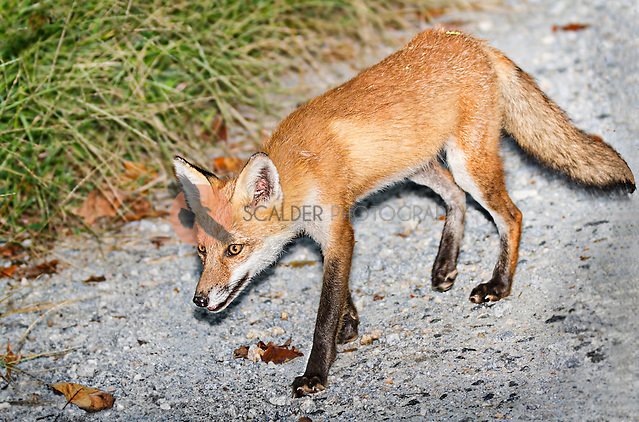 Red Fox walking along gravel road in Delaware (Sandra Calderbank, sandra calderbank)