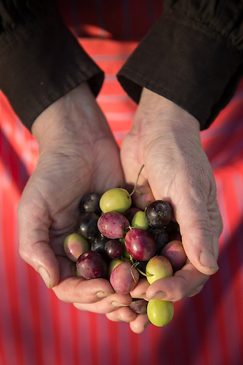A volunteer assists with the olive harvest on the north side of Calistoga. (Clark James Mishler)