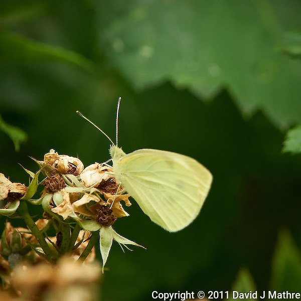 Small White Butterfly. Spring Outdoor Nature in New Jersey. Image taken with a Nikon D3s and 200-400 mm f/4 lens (ISO 2200, 400 mm, f/5.6, 1/400 sec). Raw image processed with Capture One Pro 6, Focus Magic, Nik Define, and Photoshop CS5. (David J Mathre)