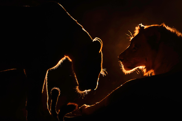 African lion, Panthera Leo, Zimanga Private Nature Reserve, KwaZulu Natal, South Africa (Staffan Widstrand)