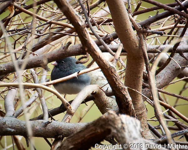 "Dark-eyed ""Slate-colored"" Junco Hiding in the Bushes. Backyard Spring Nature in New Jersey. Image taken with a Nikon 1 V2 camera, FT1 adapter,and 28-300 mm VR lens (ISO 160, 300 mm, f/5.6, 1/200 sec). (David J Mathre)"