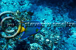 Queen Angelfish, Hoacanthus ciliaris, Grand Cayman (Steven Smeltzer)