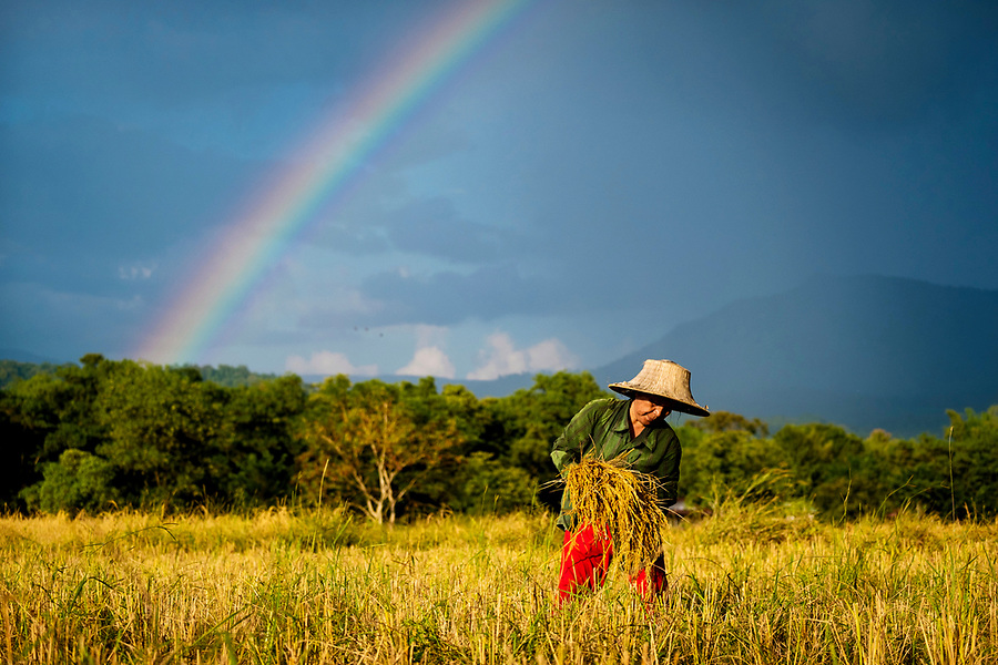 The Rice Harvest in rural Nakhon Nayok, Thailand begins and a rainbow of hope appears. Rice prices are at a 13 month low, creating hardships for Thailand's rice farmers. PHOTO BY LEE CRAKER (Lee Craker)