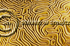 Grooved Brain Coral, Diploria labyrinthiformis, Grand Cayman (Steven Smeltzer)