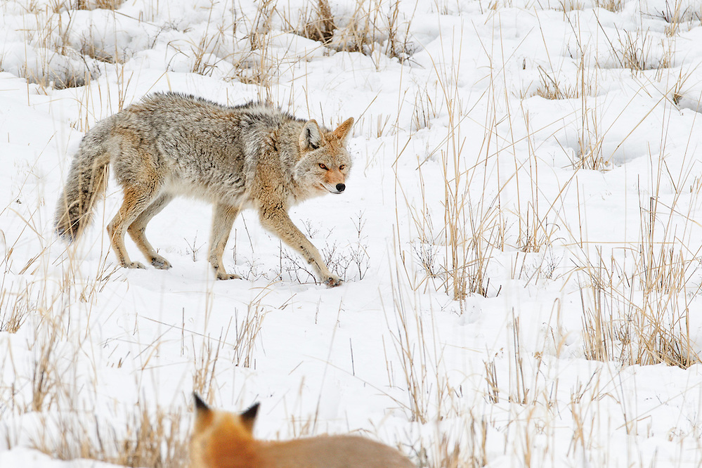 A Coyote and a Red Fox in Yellowstone National Park (Doug Oglesby)