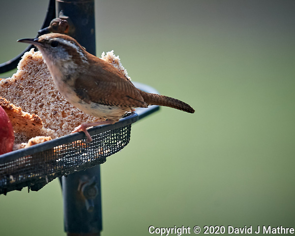 Carolina Wren. Image taken with a Nikon D5 camera and 600 mm f/4 VR lens (ISO 800, 600 mm, f/5.6, 1/1250 sec). (DAVID J MATHRE)