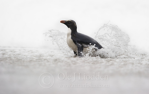 Fiordland crested penguin (Eudyptes pachyrhynchus) Westland, New Zealand, Vulnerable species (Ole Jørgen Liodden)