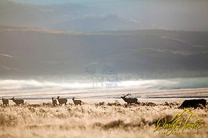 A bull elk herding his harem during the elk rut in Jackson Hole Wyoming (Daryl L. Hunter/© Daryl L. Hunter)