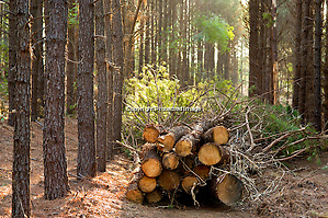 Cut trees from a pine forest that is being thinned in Arkansas (Beth Hall)