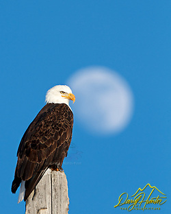 A bald eagle perched on post on a blue sky evening during a full rising moon in Grand Teton National Park